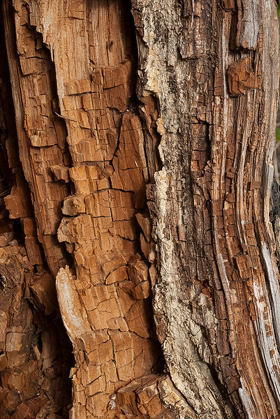 Monterey pine - interior