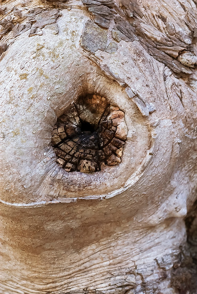 Knot in Sycamore tree