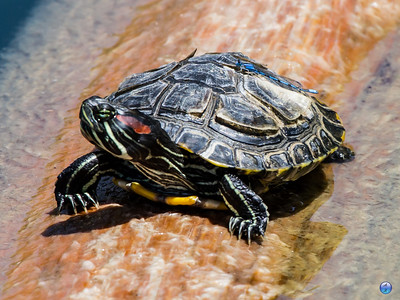 Red-eared Slider with a Damsel Fly hitchhiker