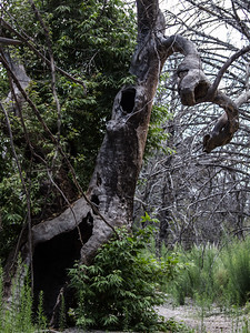 Spooky Old Tree at Chiricahua NM