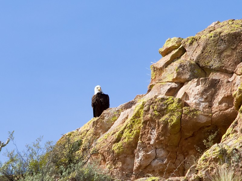 Saguaro Lake Bald Eagle