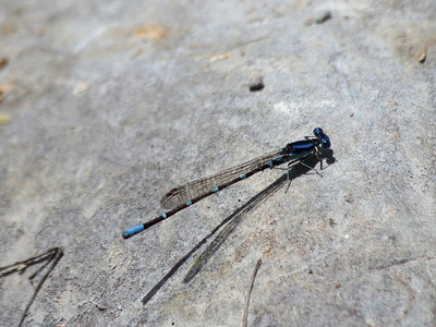 Common Blue Damsel Fly