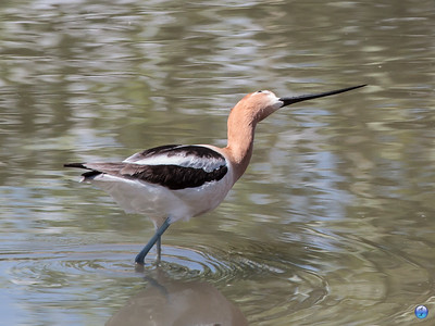 American Avocet watching an airplane fly overhead