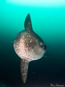 Mola mola (pacific sunfish)