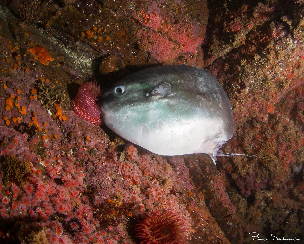 Pacific Sunfish (Mola mola)
