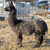 "Frosty ""Weather"" Puts Frost on the Back of Dolly Llama.<br /> But even with it down in the single digits F, the sun doesn't take long to take it off, --- when the sun gets to shine."