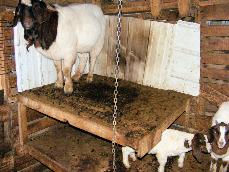 "Gee, ""I Wish"" That the Goats Were Potty Trained."