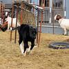 """Hamburger Running and """"Leaping"""" Around the Chicken Yard."""