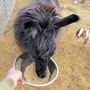 """Dolly Llamas Feed Dish is Made in a """"Circle""""."""