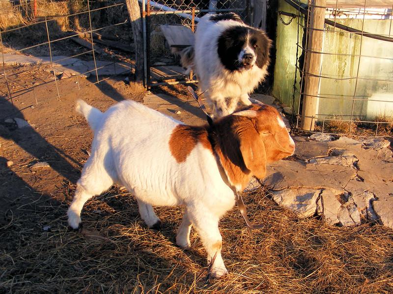 """A """"New"""" Goat"""