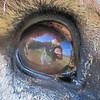"""Reflections"" from a Donkeys Eye."