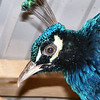 """A """"Close-Up"""" Of The Eye At The Other End Of A Peacock"""