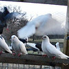 """Pigeons, -- Static and """"In Motion""""."""