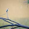 Summer Heron Visit