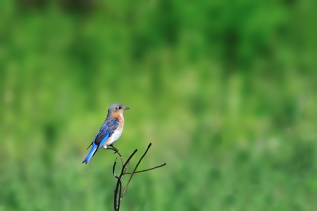 Missouri Blue Bird<br /> Shaw Nature Reserve - May 20, 2009