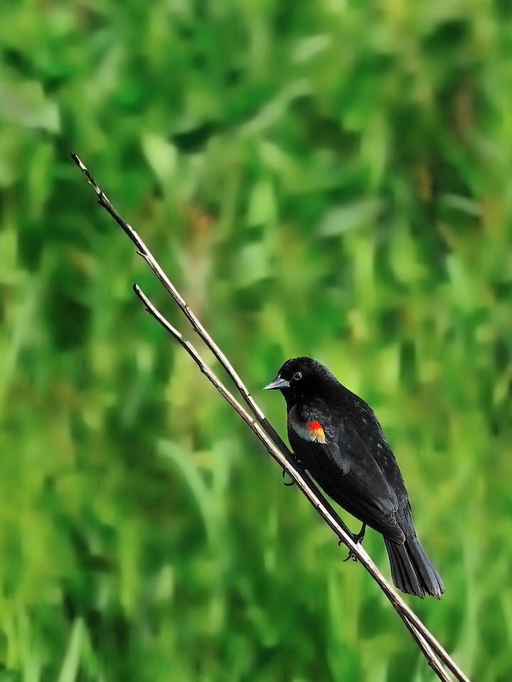 Red-Winged Blackbird<br /> Shaw Nature Reserve - May 20, 2009