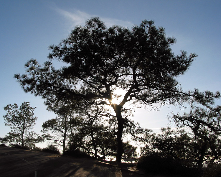 Tree in Silouette at Torrey Pines CA
