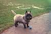 Ricky - Cairn Terrier