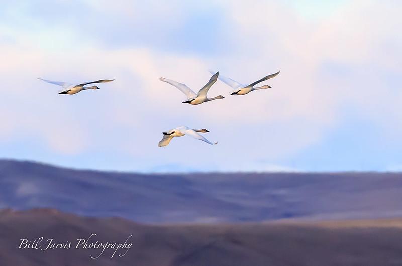Tundra Swans at Freeze Out Lake, Montana
