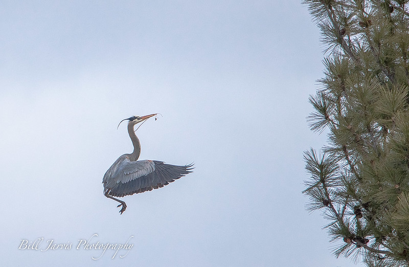 Blue Heron Nest Building Efforts