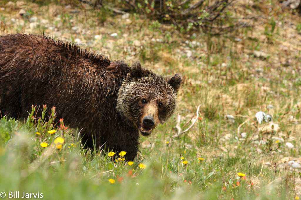 Grizzly having a breakfast of dandelions