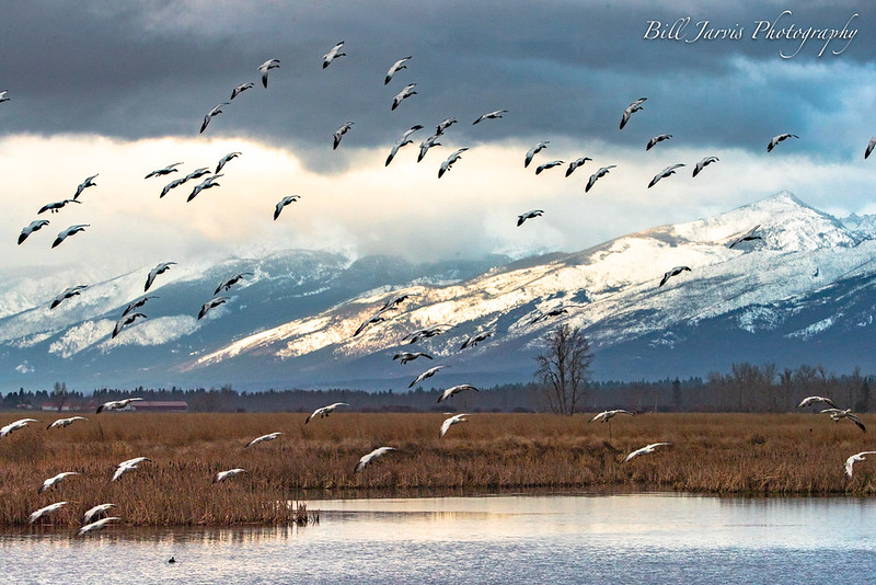 Snow Geese @ Lee Metcalf Wildlife Refuge