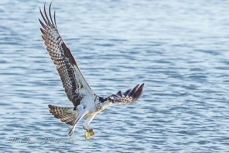 Osprey w/ Morning Meal