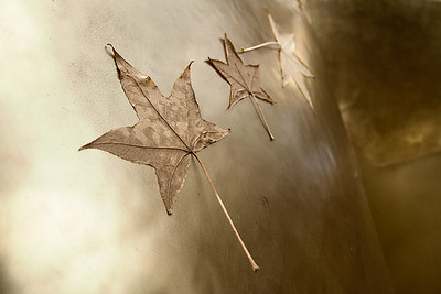 Leaves 1 (105903374)