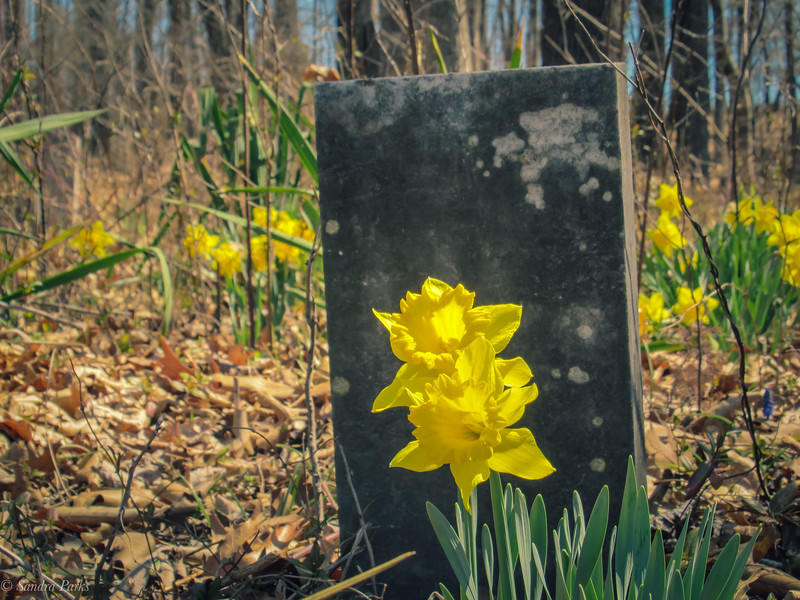 3-30-18: Springhill Cemetery. The cemetery is forgotten... but the daffodils still return.