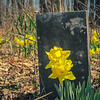 3-31-18: Springhill Cemetery. The cemetery is forgotten... but the daffodils still return.