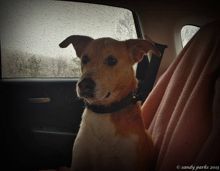 Wet dog in the car, wondering why I didn't pack any biscuits.