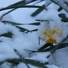 3-14-17: Obligatory daffodil in snow