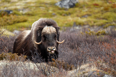 40921572 - musk ox in dovrjefell, norway