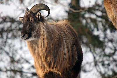 5247778 - an himalayan tahr in a winter mountain environment