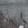 1-23-16: Heron in the snow