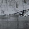 1-23-16: Heron, flying in the snow