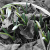 2-12-14- Snowdrops, before the snow..jpg