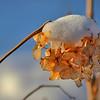 Hydrangea,  with snow