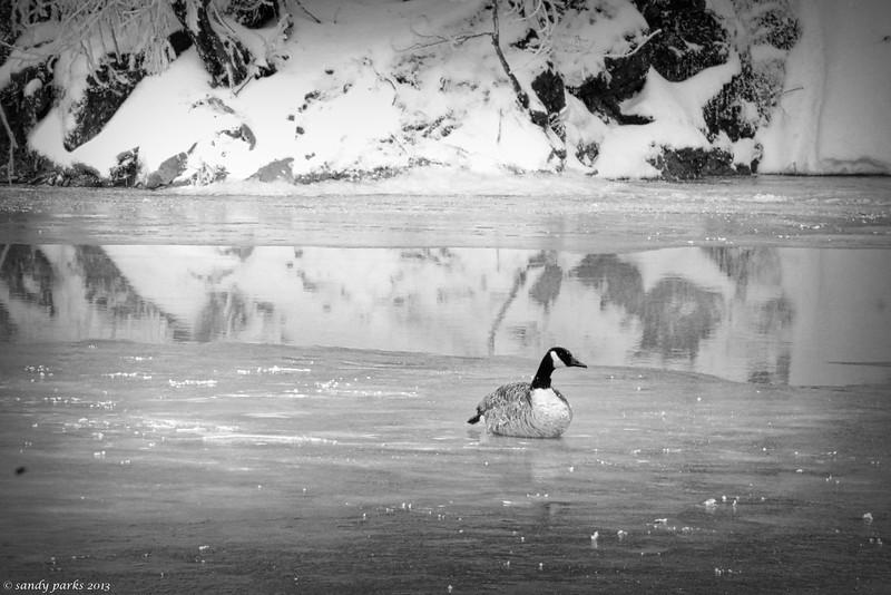 Frozen Goose, North River