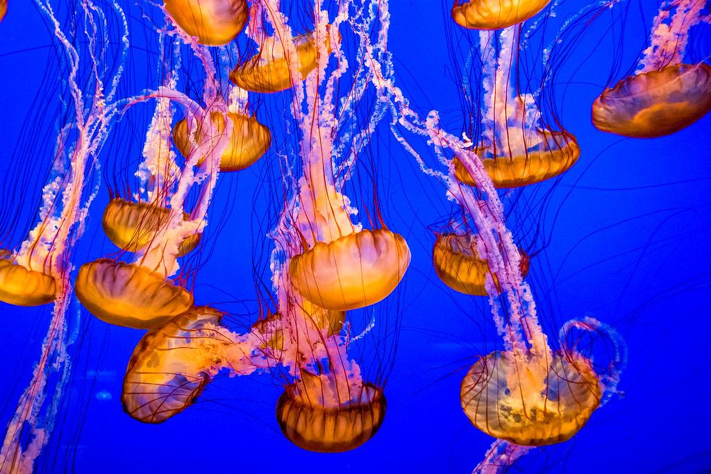 Jellys at Monterey Aqurium 1