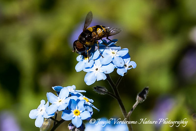 Syrphid Fly on True Forget-Me-Not wildflowers