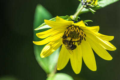 Honey bee collecting pollen (1)
