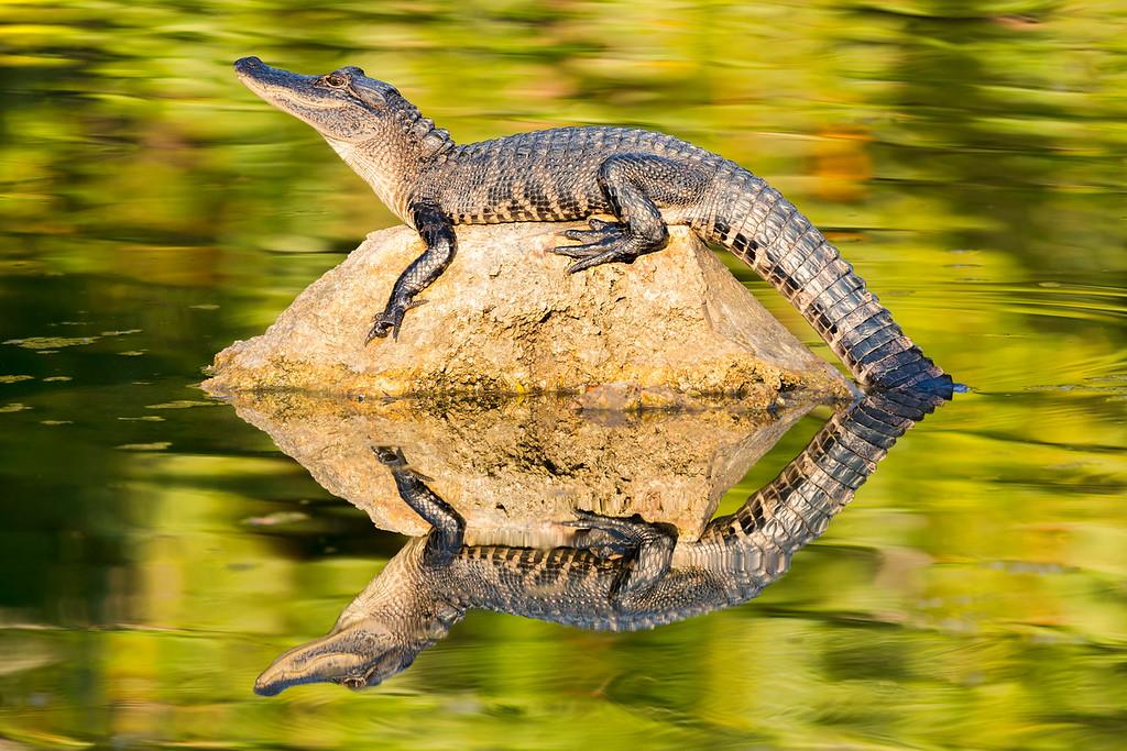 Gator at Kanapaha Gardens, Gainesville, FL