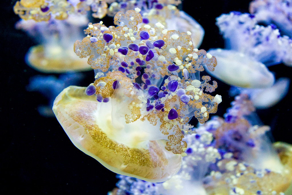 Jellys at Monterey Aquirum II