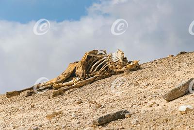 Camel Carcass on a Hillside