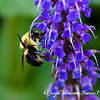 Bumblebee on wildflowers (2)
