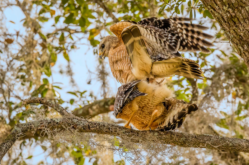 Red-Shouldered Hawks During Matting