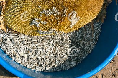 Harvest of Sunflower Seeds