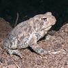 Toad, Hamden