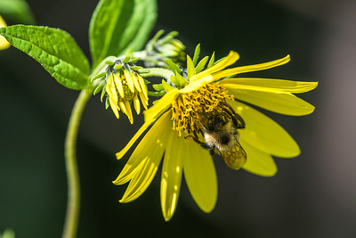 Honey bee collecting pollen (2)